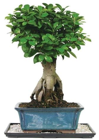 Bonsai Ginsing Grafted Ficus Bonsai  Bursa çiçek yolla nilüfer çiçek gönderme
