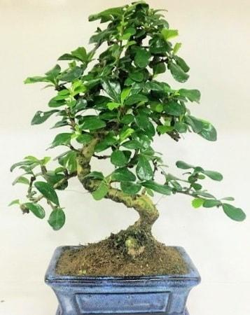 Zelkova S gövdeli Minyatür ağaç Bonzai  Bursa çiçek nilüfer İnternetten çiçek siparişi