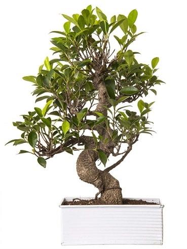 Exotic Green S Gövde 6 Year Ficus Bonsai  çiçek siparişi Bursa karacabey çiçek yolla