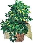 Bursa inegöl kaliteli taze ve ucuz çiçekler  Schefflera gold